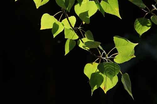 Alamo-negro-(-Populus-nigra