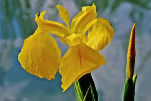 Lirio-de-agua-(-Iris-pseuda